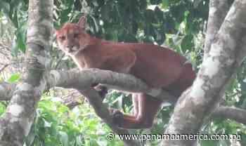 [VIDEO] Especie de felino vista en Divalá es la segunda más grande del continente Americano y en peligro de extinción - Panamá América