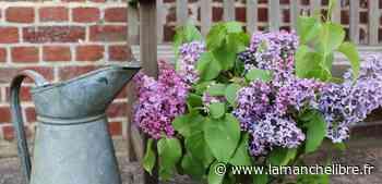 Jardin. C'est le printemps, les lilas sont fleuris Chaque année, je savoure l'instant de - la Manche Libre