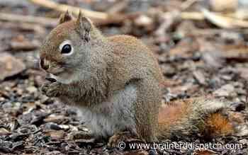 Ask the Master Gardener: Preventing those pesky squirrels from wreaking havoc in gardens - Brainerd Dispatch