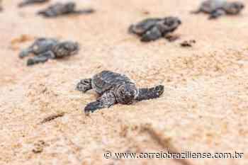 Praia de Cabo de Santo Agostinho registra nascimento de 117 tartarugas-de-pente - Correio Braziliense