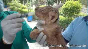 Watch: Lion cubs get fed via injection at Indore Zoo