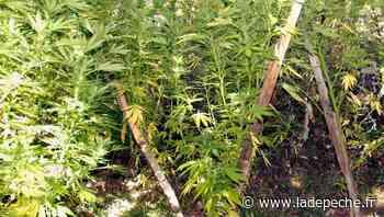 Villeneuve-sur-Lot : il faisait pousser du cannabis sous les combles d'un immeuble à deux pas de la sous-préfe - LaDepeche.fr