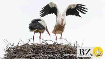Der erste Storchen-Nachwuchs in Wolfsburg wurde gesichtet