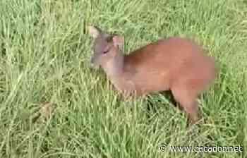 Vídeo: Veado capturado no centro de Fraiburgo é devolvido à natureza - Caçador Online