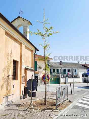 Torre San Giorgio: Un ginkgo biloba al posto del tiglio abbattuto - Mantenuta la promessa - Il Corriere di Saluzzo