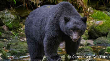 Colorado woman found dead near home from apparent bear attack, wildlife officials say