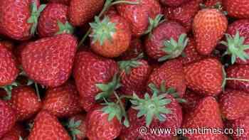 It's open season for strawberries at Kawana Farm - The Japan Times