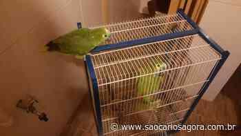 Dois papagaios são flagrados em cativeiro no Aracê de Santo Antonio - São Carlos Agora