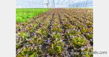 A new greenhouse complex for growing salads was opened near Novosibirsk - hortidaily.com