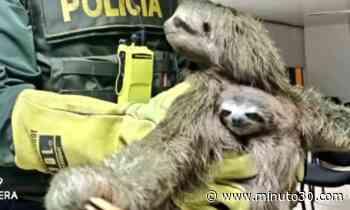 ¡Qué hermosura! La Policía rescató a un oso perezoso y a su cría - Minuto30.com