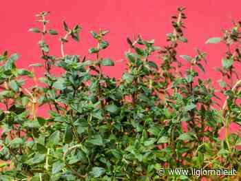 Timo, caratteristiche e proprietà di questa pianta aromatica profumata