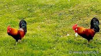I galli del parchetto adottati dal paese: due speciali mascotte a Casatenovo - IL GIORNO