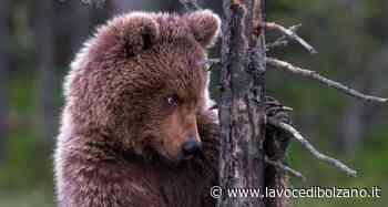 """Giovane orso sbrana animali sopra Marlengo. Gli esperti: """"Con tutta probabilità viene dal Trentino"""" - La Voce di Bolzano"""