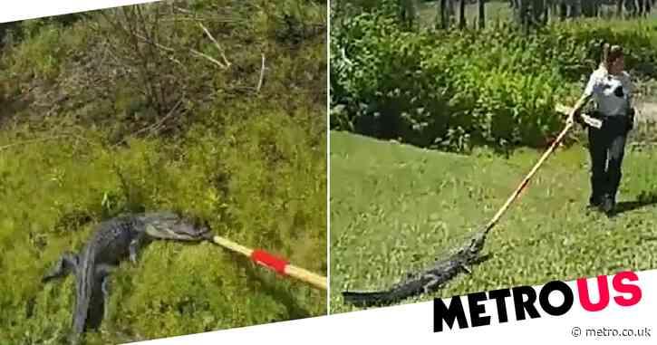 Moment female deputy uses broom to drag alligator outside home back to pond