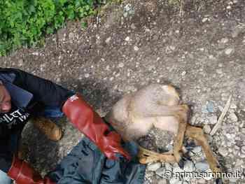 Capriolo cade nel Naviglio: il VIDEO del salvataggio - Prima Saronno