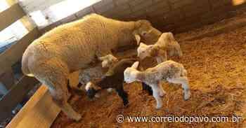 Cabanha registra nascimento de quadrigêmeos ovinos em Cruz Alta - Jornal Correio do Povo