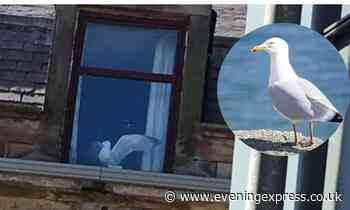 Gull trapped in top floor flat in Banff causes concern across the region - Aberdeen Evening Express