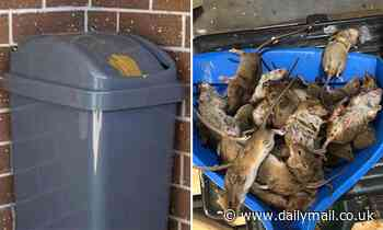 Australian farmers trap mice by spreading peanut butter on the lids of bins as plagues grip country