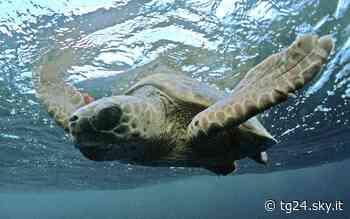 Palermo, sequestrate due tartarughe a passeggero giunto da Tunisi - Sky Tg24