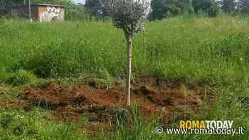 """Settecamini: piantati dieci alberi di ulivo. I cittadini: """"Vogliamo creare un circuito verde"""""""