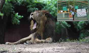Eight LIONS test positive for Covid-19 at an Indian zoo