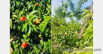 Good stone fruit production expected in southern Italy if the weather trend stabilizes - FreshPlaza.com