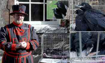 Tower of London celebrates arrival of two raven chicks taking total to nine