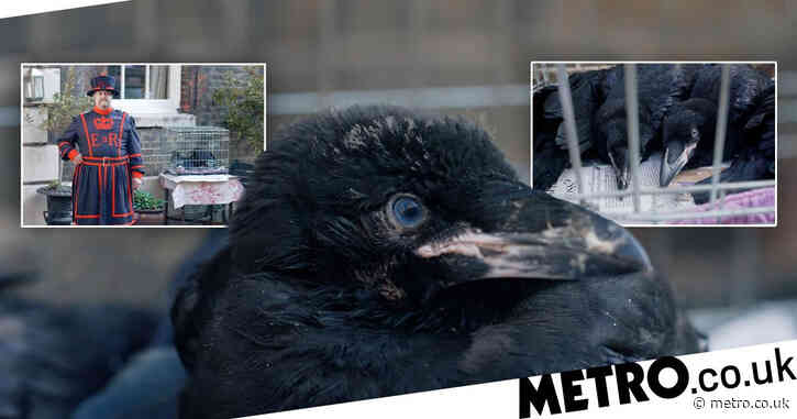 The nation is saved as raven is born at Tower of London and now it needs a name
