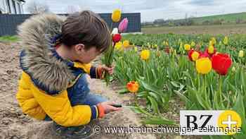 Corona-Tagebuch Salzgitter: Webers pflücken Tulpen satt