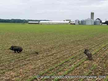 Ontario's wild pigs called 'ecological train wreck' - Woodstock Sentinel Review