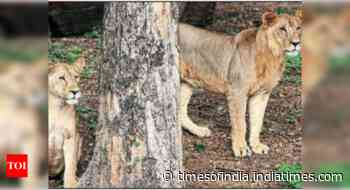 No factual evidence that animals can transmit Covid-19 virus to humans any further, says Centre on Asiatic lions cases