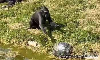 Moment mischievous monkey shoves terrapin into pond at Norfolk zoo