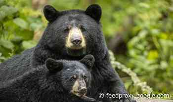 Human remains found in two bears after woman went missing in Colorado
