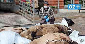 Schock in Stralsund: Von Wolf gerissene Schafe liegen in Fußgängerzone - Ostsee Zeitung