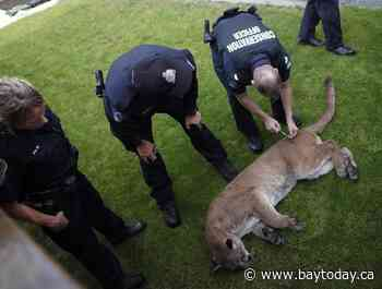 B.C. woman airlifted to hospital with serious injuries in a cougar attack