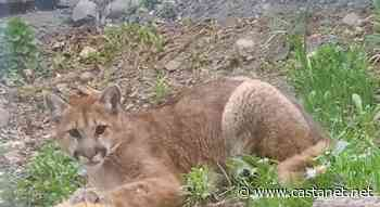 Cougar captured after sightings reported in Grandview area of Lumby - Vernon News - Castanet.net