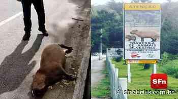 Vídeo: Capivara morre ao ser atropelada na RJ-116 em Bom Jardim - SF Notícias