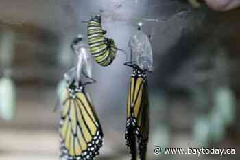 Dunchurch Agricultural Society starts a milkweed project to attract more monarch butterflies