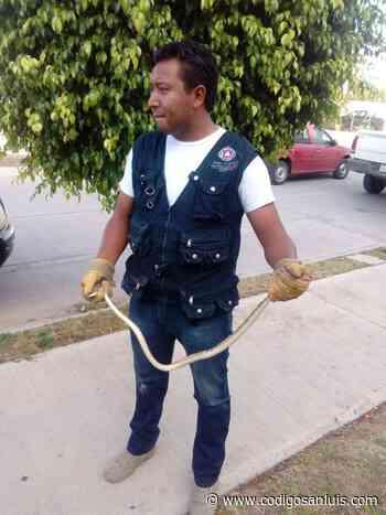 Alertan por presencia de serpientes por temporada de calor en Soledad - Código San Luis