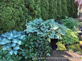 Hostas are one of my favorite perennials | The Whistling Gardener | northcountyoutlook.com - North County Outlook