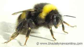 Master gardener: Bumblebees give valuable help to crops and gardens - The Daily News Online
