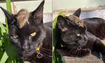 Coonabarabran, NSW: Mouse seen sitting on cat's head as scale of Australia's mouse plague exposed