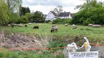 Offenbach (Egelsbach): Unerlaubtes Füttern der Schafsherde hört nicht auf - Schäferin erwägt Anzeige - op-online.de