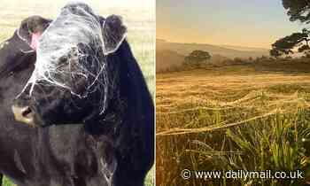 Cow has its face completely covered in spider webs