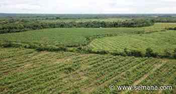 Agricultura regenerativa: así cultivan plátano en Paratebueno - Semana