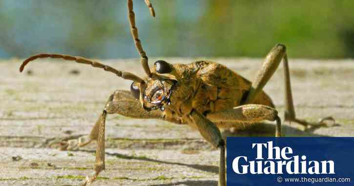Country diary: the strange beauty of a woodland beetle
