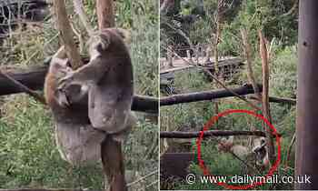 Koalas Audrey and Hazel fall out of a tree while fighting