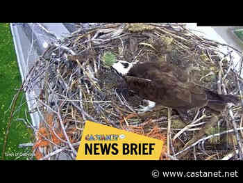 Watch pair of Osoyoos ospreys raise their family through free live stream, running 24/7 - Penticton News - Castanet.net