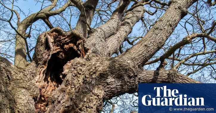 Secrets of the dead wood: ancient oaks hold key to new life
