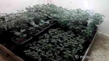 Plantação de maconha é apreendida em imóvel, em Garopaba - Notisul